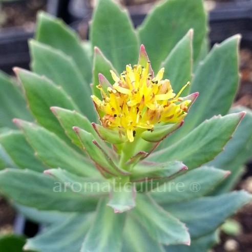 Rodholia rosea - Orpin rose