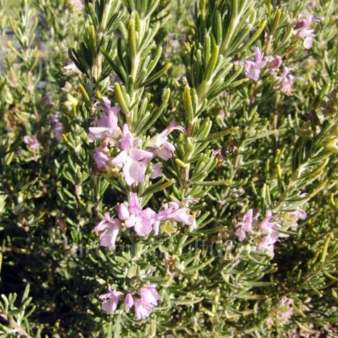 Rosmarinus officinalis 'Majorca Pink' - Romarin à fleurs roses