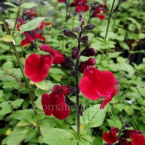 Salvia 'Dark Red Dream' - Sauge fleurs rouge-magenta