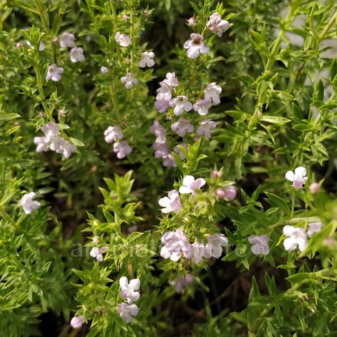 Satureja coerulea - Sariette à fleurs bleutées