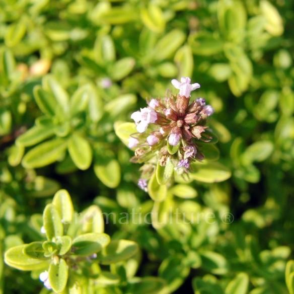 Thymus pulegioides 'Aureus' - Thym doré