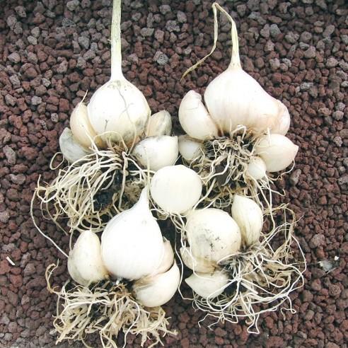 Allium ampeloprasum - Poireau perpétuel