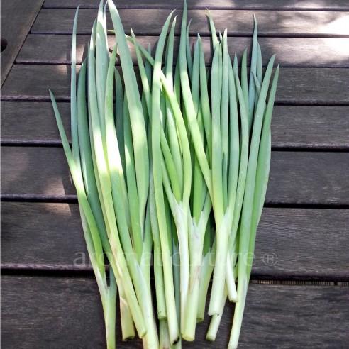 Allium fistulosum - Cive