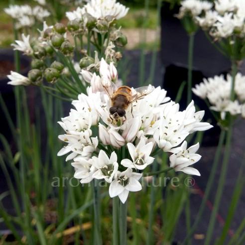 Allium ramosum - Ail odorant