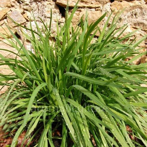Allium tuberosum - Ciboule-ail