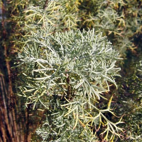 Artemisia alba subsp. camphorata - Aurone camphrée