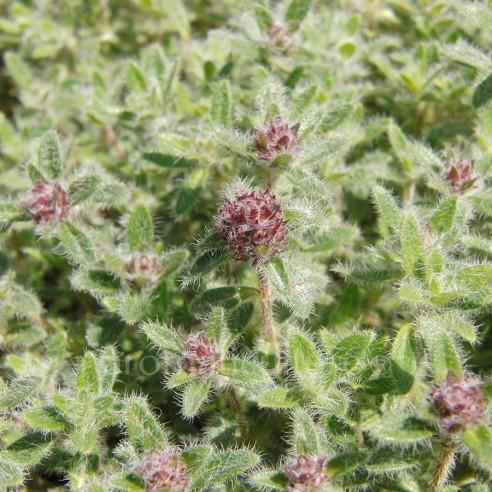 Thymus ciliatus - Thym cilié rampant, laineux