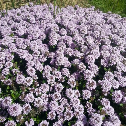 Thymus longicaulis - Thym à longues tiges