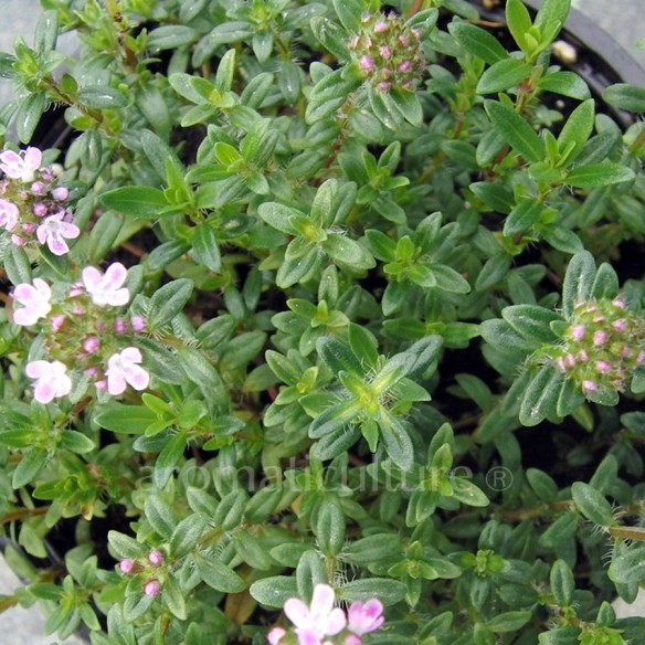 Thymus nitens - Thym luisant tapissant