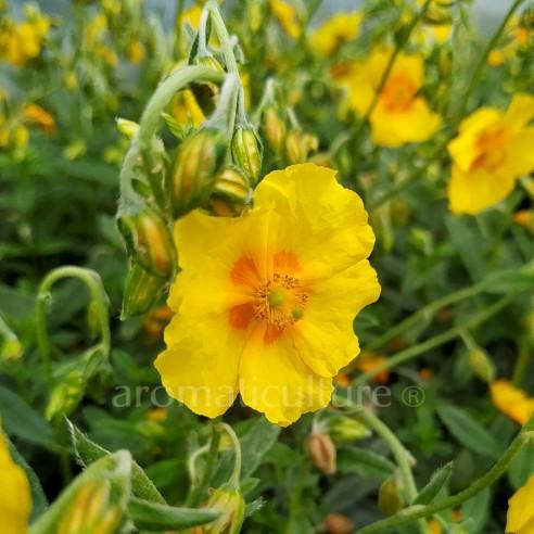 Helianthemum 'Ben Fhada' - Hélianthème à fleurs jaunes